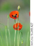Купить «Цветение полевых маков», фото № 6249427, снято 2 мая 2014 г. (c) Паровышник Наталья / Фотобанк Лори