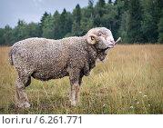 Купить «Баран показывает язык», фото № 6261771, снято 8 августа 2014 г. (c) Сергей Великанов / Фотобанк Лори