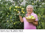 Купить «Жизнерадостная пожилая женщина собирает яблоки», фото № 6263163, снято 9 августа 2014 г. (c) Александр Романов / Фотобанк Лори