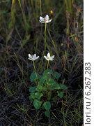 Купить «Белозор болотный (Золотничка болотная). Parnassia palustris L. (1753)», фото № 6267283, снято 11 августа 2014 г. (c) Григорий Писоцкий / Фотобанк Лори
