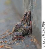 Лягушка озерная. Стоковое фото, фотограф Alexey Kizenkov / Фотобанк Лори