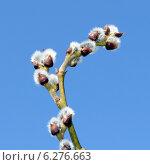 Купить «Цветущая ветка ивы с почками», фото № 6276663, снято 3 апреля 2010 г. (c) Илья Ладнев / Фотобанк Лори