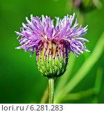 Купить «Бодяк полевой или Розовый осот (Cirsium arvense) — вид многолетних травянистых растений из рода Бодяк семейства Астровые, или Сложноцветные (Asteraceae). Цветок крупно», эксклюзивное фото № 6281283, снято 14 августа 2014 г. (c) Евгений Мухортов / Фотобанк Лори