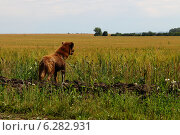 Коричневая собака на фоне поля злаков. Стоковое фото, фотограф Анна Пикунова / Фотобанк Лори