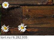 Три белые ромашки вставлены меж старых черных деревянных брусьев. Стоковое фото, фотограф Анна Пикунова / Фотобанк Лори