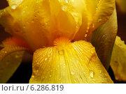 Желтый Ирис цветок после дождя крупным планом. Стоковое фото, фотограф Клыков Станислав / Фотобанк Лори