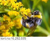 Купить «Шмель на желтом цветке», фото № 6292035, снято 14 августа 2014 г. (c) Сергей Лаврентьев / Фотобанк Лори