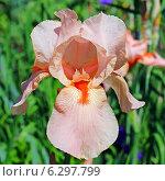 Купить «Ирис бородатый (Iris barbata). Цветок крупно», эксклюзивное фото № 6297799, снято 28 июня 2013 г. (c) Евгений Мухортов / Фотобанк Лори