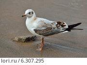 Купить «Чайка на пляже», фото № 6307295, снято 21 января 2014 г. (c) Сергей Трофименко / Фотобанк Лори