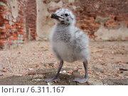 Птенец чайки. Стоковое фото, фотограф Анна Дорофеенко / Фотобанк Лори