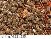 Пчелиный маточник. Стоковое фото, фотограф Денис Кошель / Фотобанк Лори