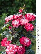 Купить «Роза чайно-гибридная Ностальжи (Nostalgie Hybrid Tea). Тантау (Tantau)», фото № 6321655, снято 20 июля 2014 г. (c) Ольга Сейфутдинова / Фотобанк Лори
