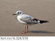 Купить «Чайка на песчаном пляже», фото № 6324519, снято 21 января 2014 г. (c) Сергей Трофименко / Фотобанк Лори