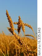 Колоски пшеницы. Стоковое фото, фотограф Шевердина Мария / Фотобанк Лори