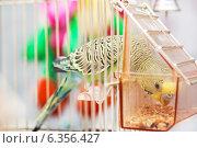 Купить «Волнистый попугай клюёт зерна в кормушке», фото № 6356427, снято 11 января 2014 г. (c) Елена Вяселева / Фотобанк Лори