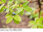 Купить «Ягоды спелые на кусту жимолости», фото № 6356535, снято 8 июня 2013 г. (c) Елена Вяселева / Фотобанк Лори