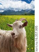 Домашняя коза на цветущем лугу (лат. Capra hircus) Стоковое фото, фотограф Виктория Катьянова / Фотобанк Лори
