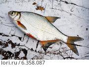 Купить «Рыба подлещик на старом деревянном столе», фото № 6358087, снято 13 сентября 2013 г. (c) ElenArt / Фотобанк Лори