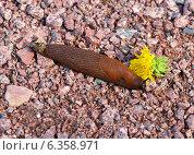 Слизняк (Arion lusitanicus) на гравии. Стоковое фото, фотограф Валерия Попова / Фотобанк Лори