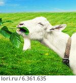 Купить «Белая коза срывает листок с дерева на поле», фото № 6361635, снято 17 июня 2012 г. (c) katalinks / Фотобанк Лори