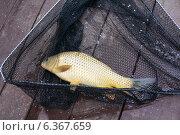 Купить «Рыбалка. Пойманный карп в сачке», эксклюзивное фото № 6367659, снято 24 августа 2014 г. (c) Dmitry29 / Фотобанк Лори