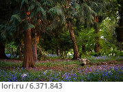 Купить «Bluebells in English Woodland», фото № 6371843, снято 16 января 2019 г. (c) Ingram Publishing / Фотобанк Лори
