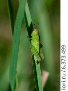 Купить «Grasshopper on a reed», фото № 6373499, снято 31 марта 2020 г. (c) Ingram Publishing / Фотобанк Лори
