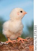 Купить «Close-up of a cute chick», фото № 6373551, снято 23 октября 2018 г. (c) Ingram Publishing / Фотобанк Лори