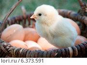 Купить «Chick in a basket with eggs», фото № 6373591, снято 21 ноября 2019 г. (c) Ingram Publishing / Фотобанк Лори