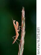Купить «A artistic shot of a praying mantis», фото № 6373631, снято 11 ноября 2019 г. (c) Ingram Publishing / Фотобанк Лори