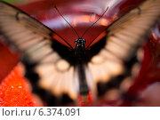 Купить «Close-up of a butterfly at Butterfly Palace, Branson, Taney County, Missouri, USA», фото № 6374091, снято 25 августа 2019 г. (c) Ingram Publishing / Фотобанк Лори