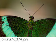 Купить «Close-up of a butterfly at Butterfly Palace, Branson, Taney County, Missouri, USA», фото № 6374299, снято 25 августа 2019 г. (c) Ingram Publishing / Фотобанк Лори
