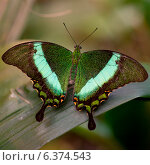 Купить «Close-up of a butterfly at Butterfly Palace, Branson, Taney County, Missouri, USA», фото № 6374543, снято 19 октября 2018 г. (c) Ingram Publishing / Фотобанк Лори