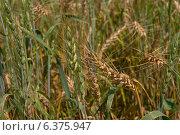 Пшеница. Стоковое фото, фотограф Владимир Лукин / Фотобанк Лори