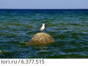 Купить «Чайка на камне», фото № 6377515, снято 21 января 2014 г. (c) Сергей Трофименко / Фотобанк Лори