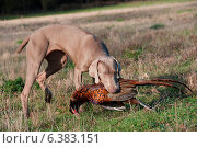 Купить «Hunting dog with a pheasant in its mouth», фото № 6383151, снято 21 марта 2019 г. (c) Ingram Publishing / Фотобанк Лори