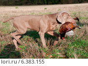 Купить «Hunting dog with a pheasant in its mouth», фото № 6383155, снято 21 марта 2019 г. (c) Ingram Publishing / Фотобанк Лори