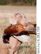 Купить «Hunting dog with a pheasant in its mouth», фото № 6383159, снято 21 января 2019 г. (c) Ingram Publishing / Фотобанк Лори