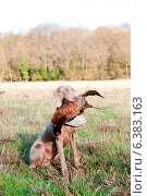 Купить «Hunting dog with a pheasant in its mouth», фото № 6383163, снято 21 марта 2019 г. (c) Ingram Publishing / Фотобанк Лори