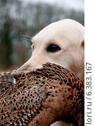 Купить «Hunting dog with a pheasant in its mouth», фото № 6383167, снято 21 января 2019 г. (c) Ingram Publishing / Фотобанк Лори
