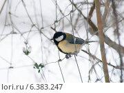 Купить «A blue tit in the snow», фото № 6383247, снято 24 января 2019 г. (c) Ingram Publishing / Фотобанк Лори