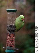 Купить «A parrot on a bird feeder», фото № 6383759, снято 22 апреля 2019 г. (c) Ingram Publishing / Фотобанк Лори