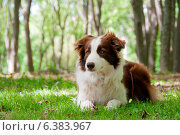 Купить «A border collie laying down», фото № 6383967, снято 5 августа 2020 г. (c) Ingram Publishing / Фотобанк Лори