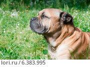 Купить «A close-up of a mastiff in a field», фото № 6383995, снято 10 декабря 2019 г. (c) Ingram Publishing / Фотобанк Лори