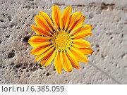 Газания, цветок на фоне каменной стены. Стоковое фото, фотограф VahanN / Фотобанк Лори