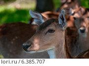 Fallow deer. Стоковое фото, агентство Ingram Publishing / Фотобанк Лори