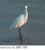 Купить «Egret on the beach, Sayulita, Nayarit, Mexico», фото № 6386195, снято 26 марта 2019 г. (c) Ingram Publishing / Фотобанк Лори
