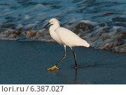 Купить «Egret foraging on the beach, Sayulita, Nayarit, Mexico», фото № 6387027, снято 26 марта 2019 г. (c) Ingram Publishing / Фотобанк Лори