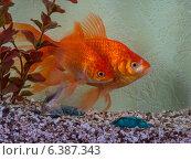 Золотые рыбки. Стоковое фото, фотограф Анна Дорофеенко / Фотобанк Лори