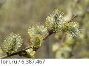 Купить «Ветка цветущей ивы козьей (лат.Salix caprea)», эксклюзивное фото № 6387467, снято 20 апреля 2014 г. (c) Елена Коромыслова / Фотобанк Лори